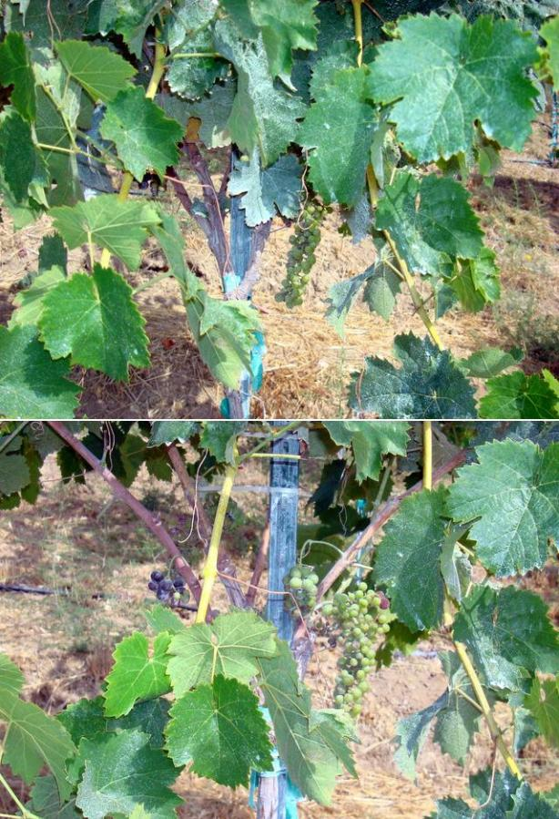 A vine with mostly green clusters, before and after leaf pulling.