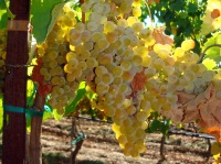 2011 Santa Clara Valley Fiano ready for picking.